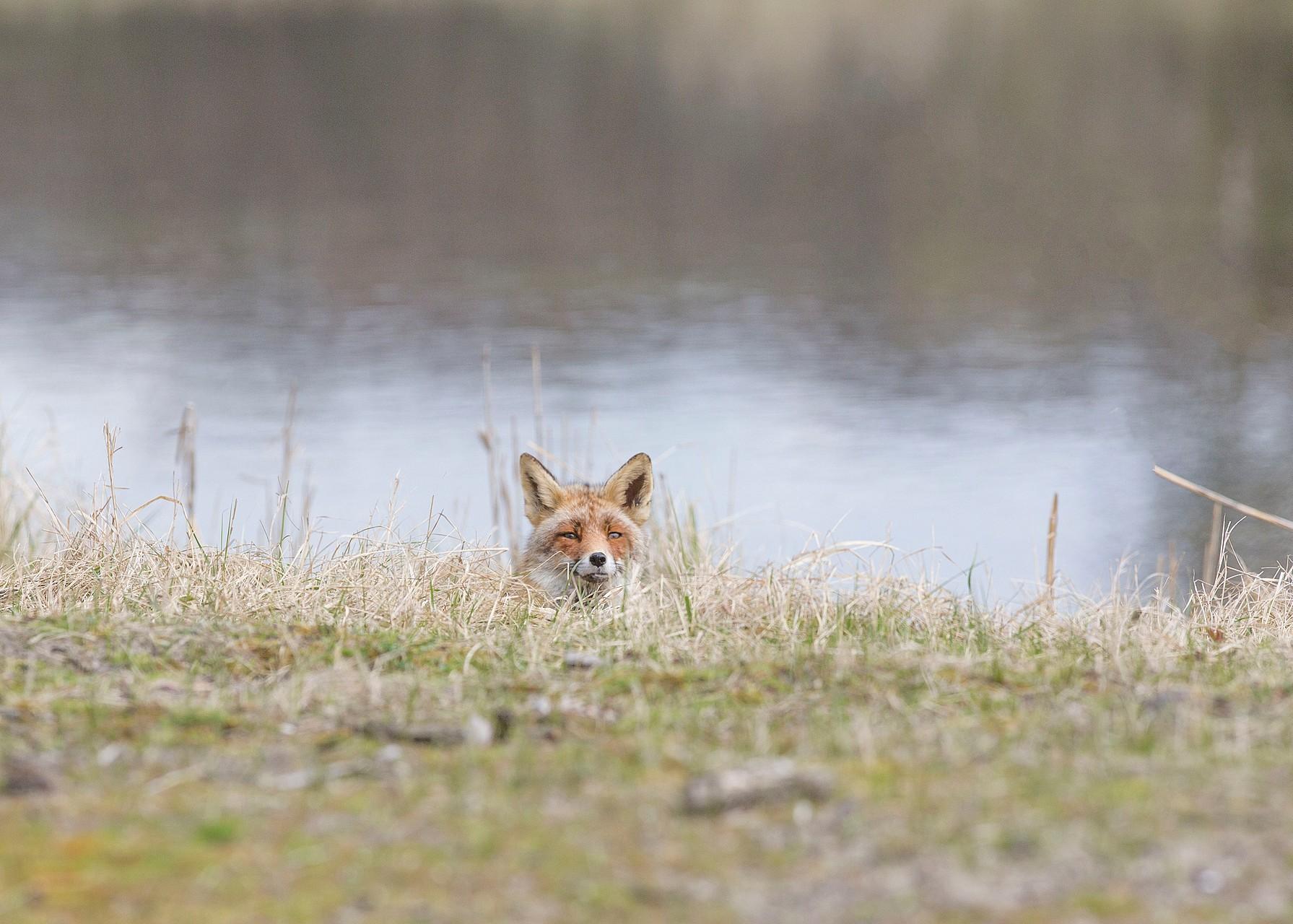 De volgende vos
