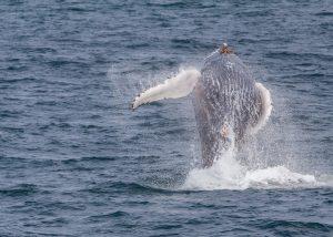 Bultrug walvis Sep